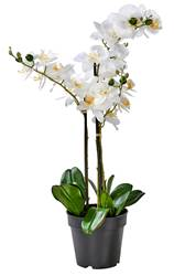 ORCHID Orchidée en pot blanc Long. 68 cm